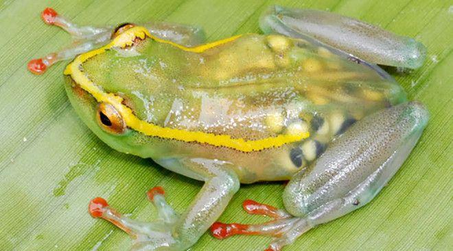 Прозрачная лягушка Вид Hyperolius Leucotaenius относится к прыгучему семейству гиперолиидов. Это энд
