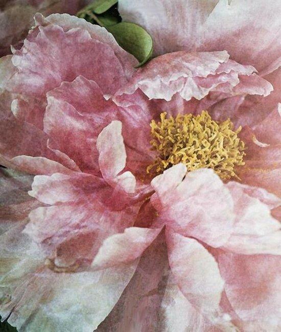 фон цветочный пион.jpg