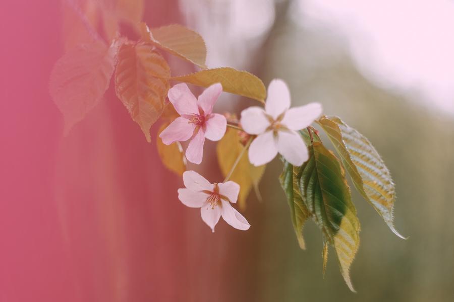 Цветущая розовая сакура в Москве / ханами в Москве