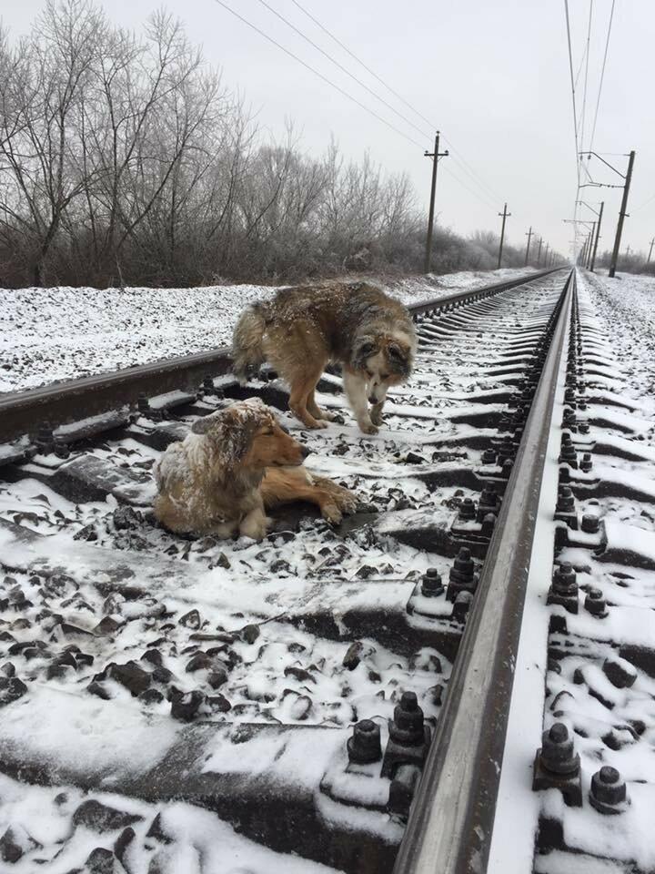 В Ужгороде пес два дня охранял на железнодорожных рельсах раненую собаку