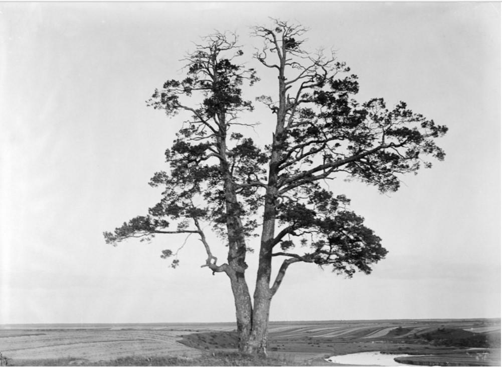 Кобралово. Священное дерево на берегу реки