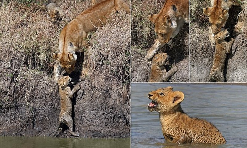 Lion Helps Cubs Across River