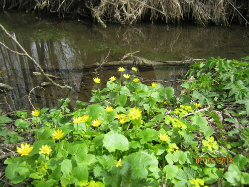 Чистяк весенний возле речки Хоперенки.