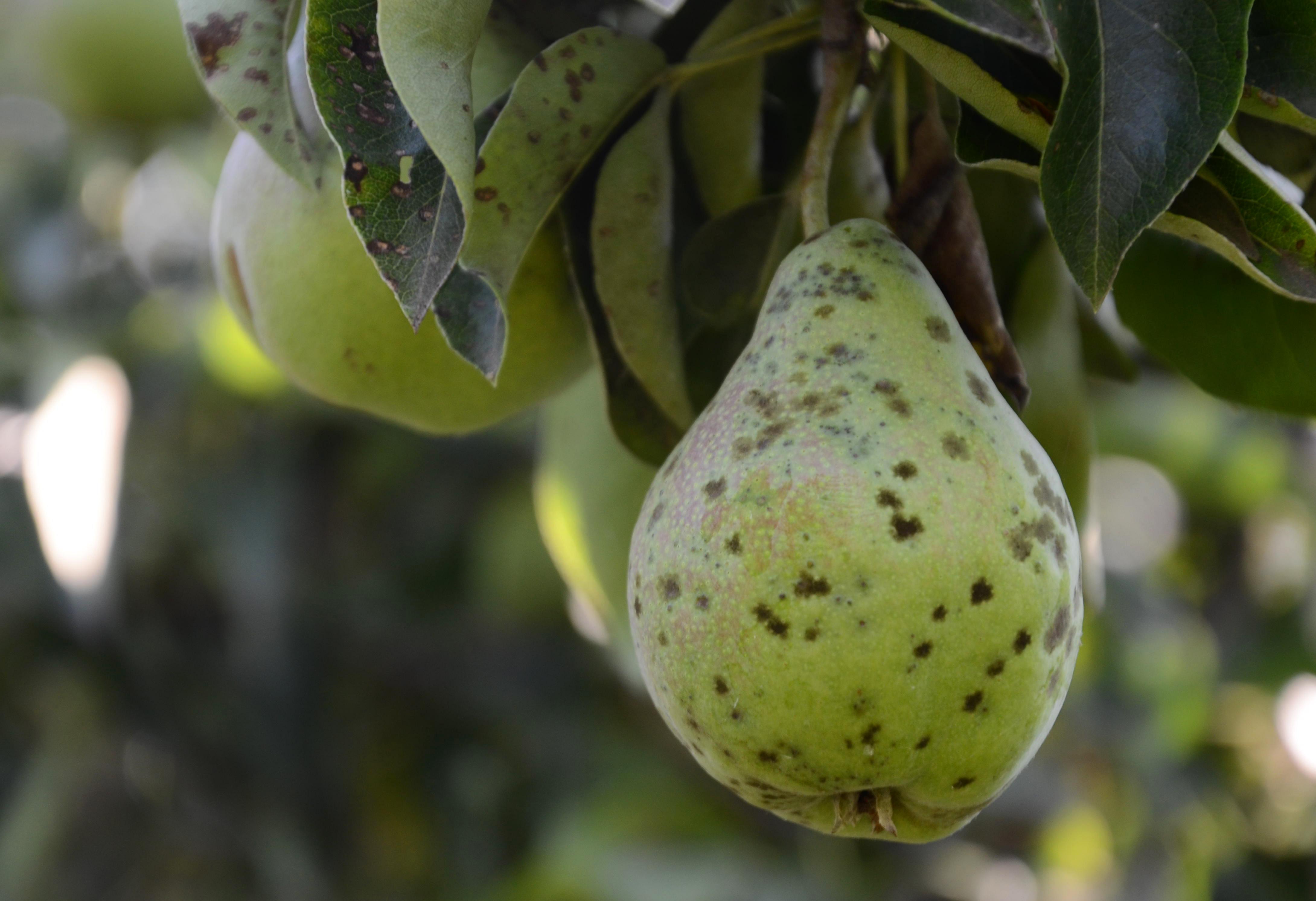 груша плод на дереве