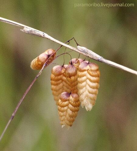 Briza maxima - Трясунка большая/семейство злаки - Poaceae