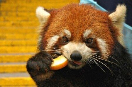 красная панда ест печенюшку