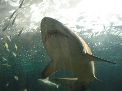 Акула.