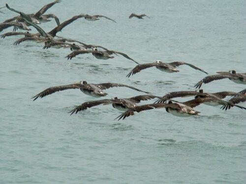 пеликаны на охоте