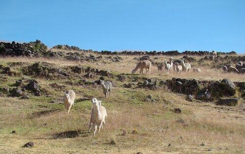 ламы на пастбище