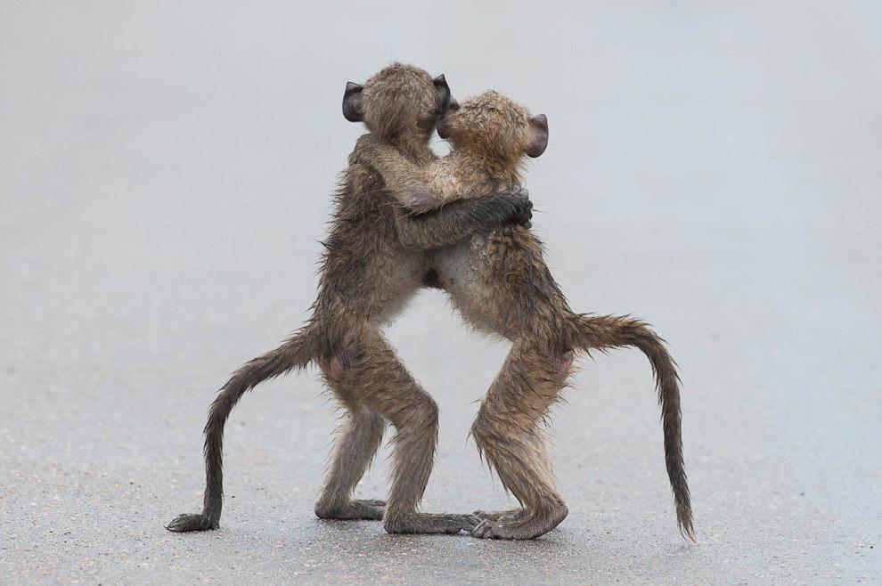 27. Сифака-танцор. (Фото Alison Buttigieg | Comedy Wildlife Photography Awards):