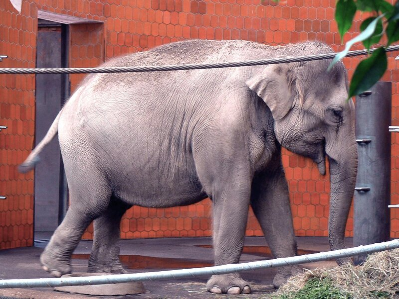 Munchen_zoo_04-07-2007_Elephas_maximus_Индийский_слон