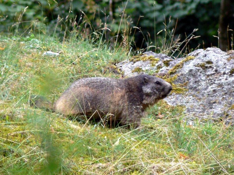 Munchen_zoo_04-07-2007_Marmota _marmota_Альпийский_сурок