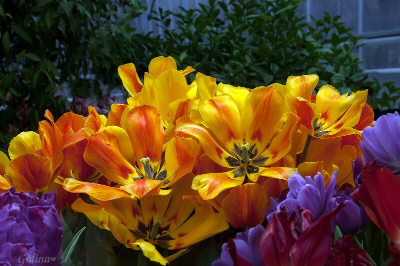 Солнечный тюльпаны