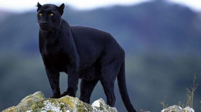 Чёрная пантера Пантеры тоже нередко встречаются в фильмах и мультфильмах. На это грациозное животное