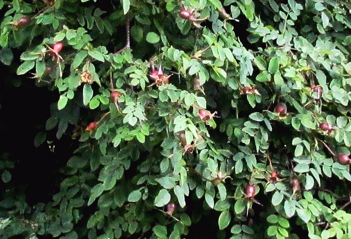 роза поппиус