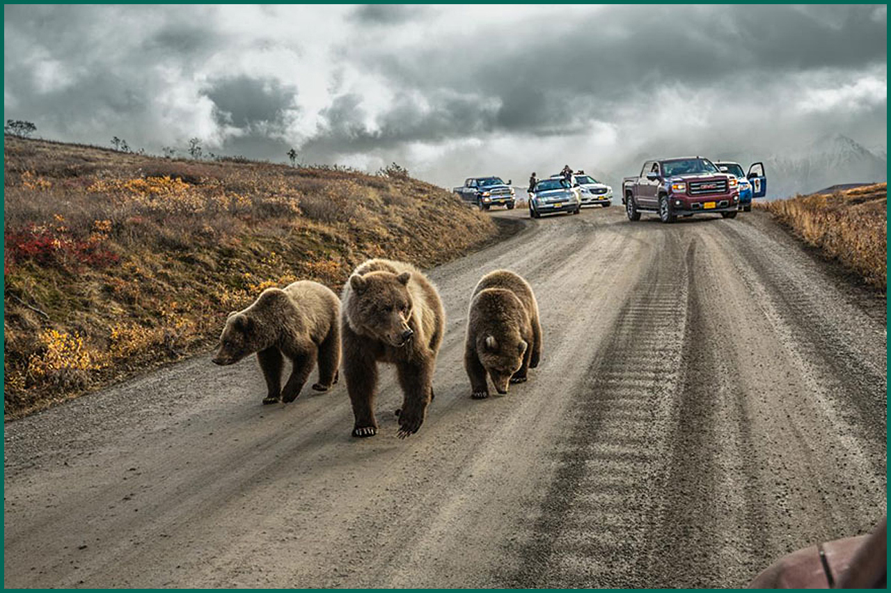 A grizzly bear mother and her cubs cause a traffic jam on the Denali Highway in Alaska, only open to private vehicles for 5 days each summer