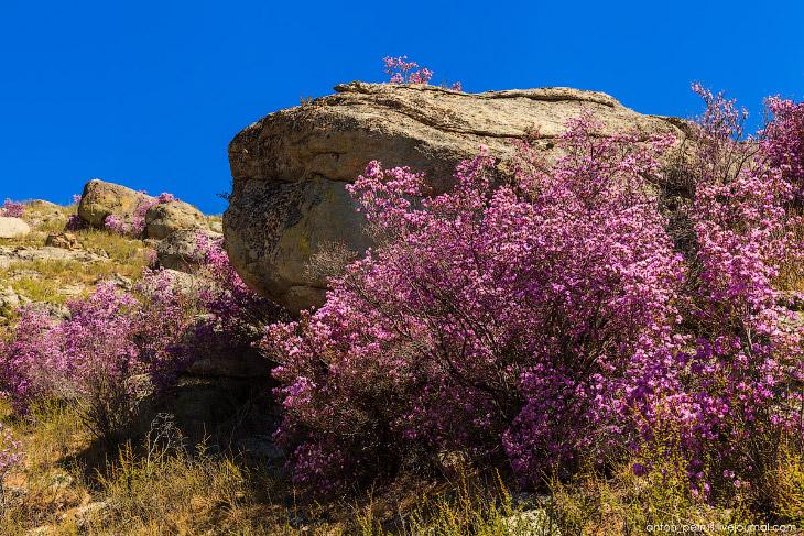 Цветущий маральник на Алтае (15 фото)