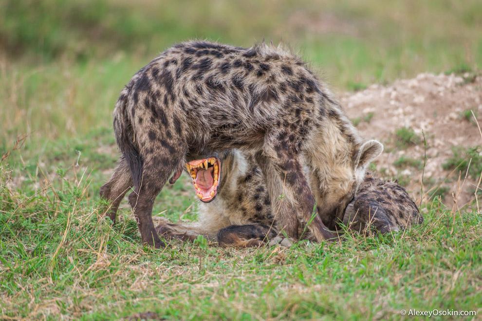5. В кланах гиен самцы имеют настолько низкое положение, что даже детеныши стоят на ступень выш