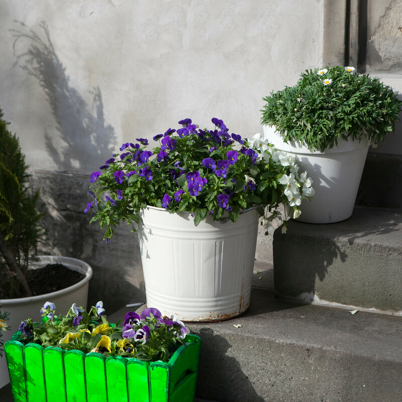 the Violets, daisies in white buckets on the steps of the cafe as decoration