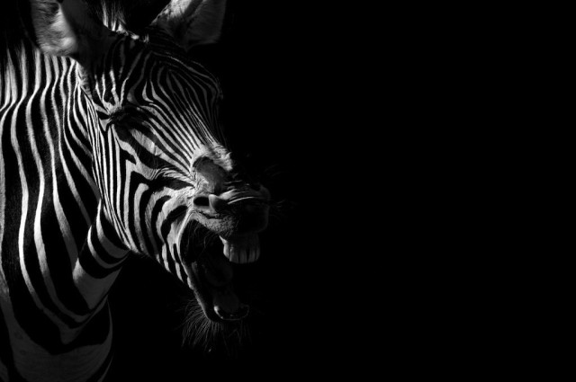 Black and White Portraits of Animals in Zoos