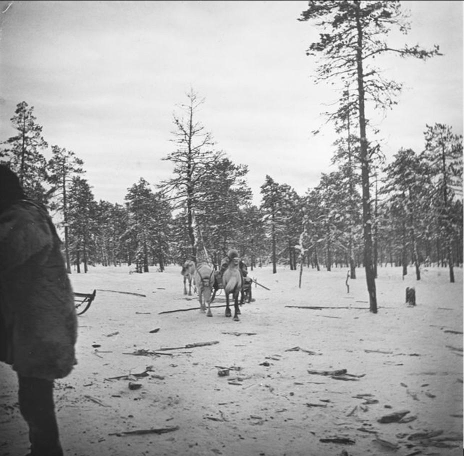 20. Нарты с оленями движутся через лес