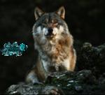 волки-пнг-2.png