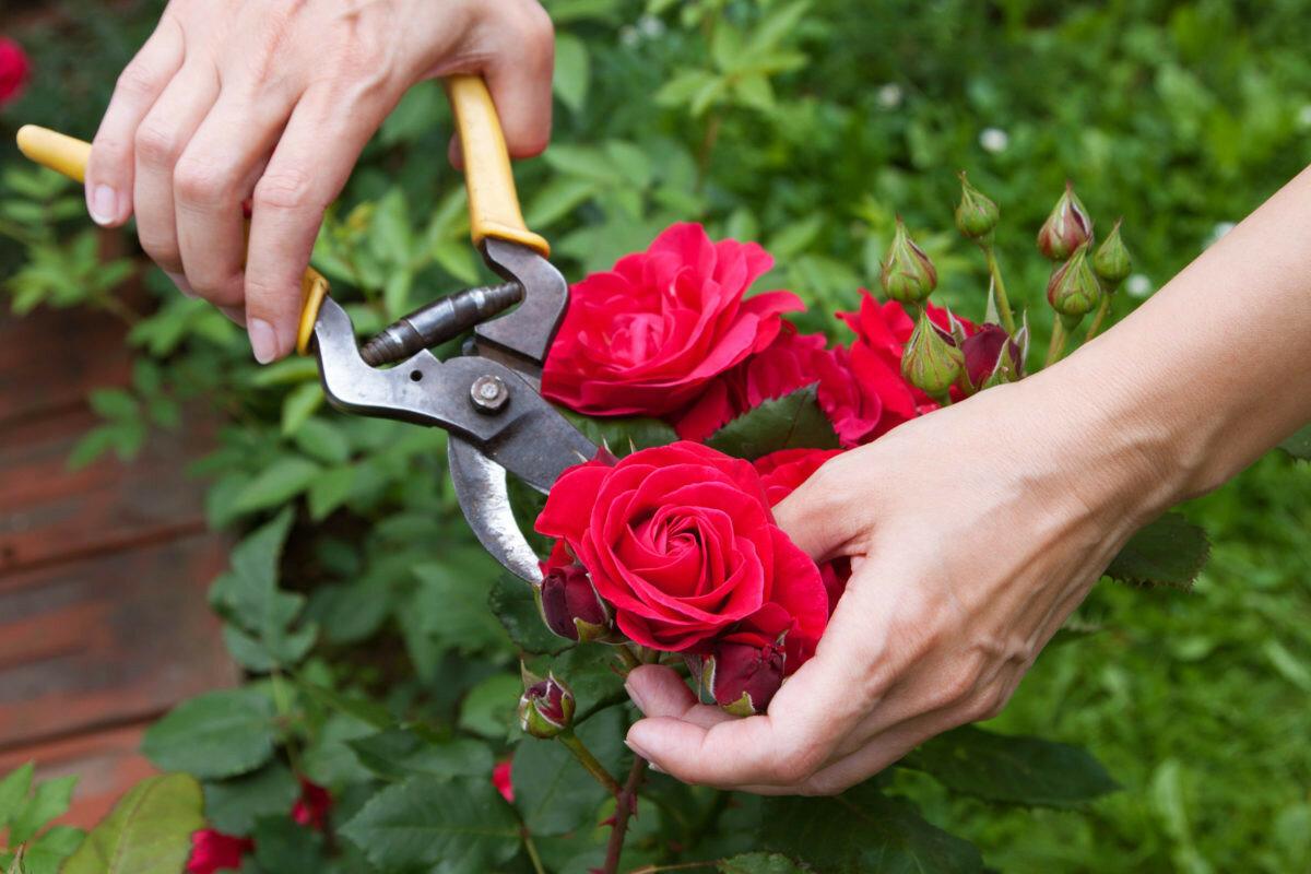 Своими руками обрезка розы