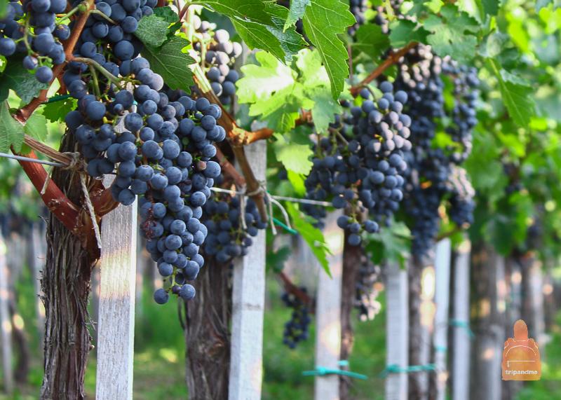 Винограднные плантации Вршаца