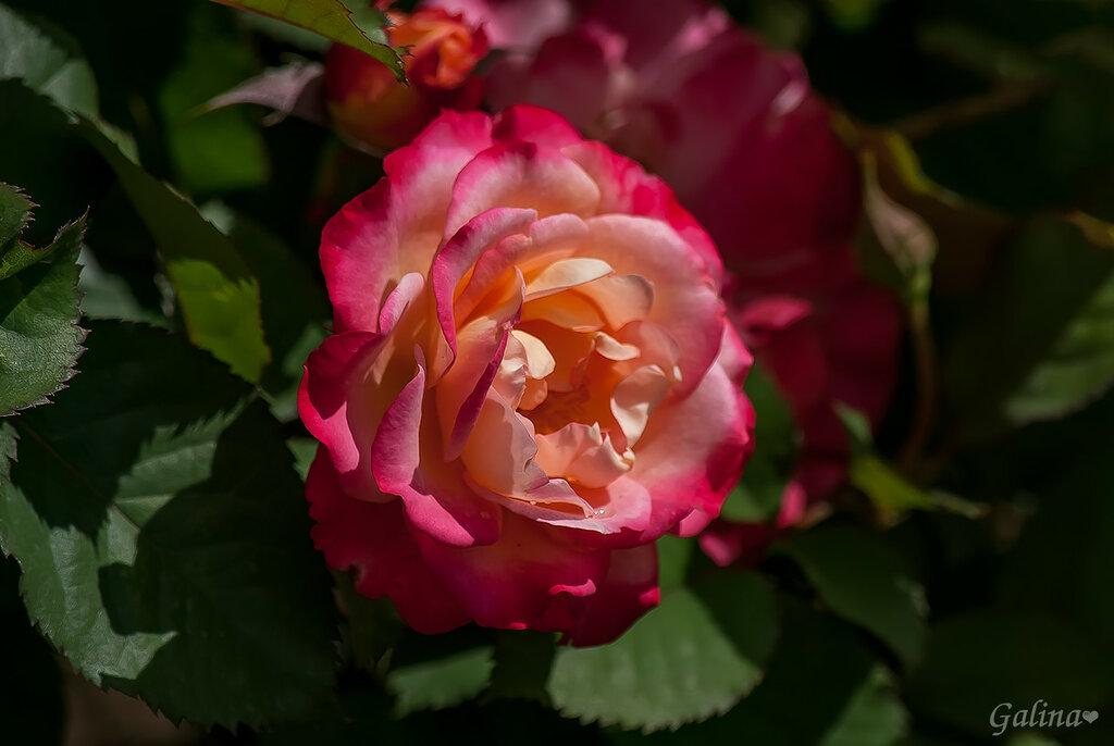 .Роза - она, как женщина,Нежна, элегантна, застенчива,Стройна, временами загадочна,В своей красоте, просто сказочна!