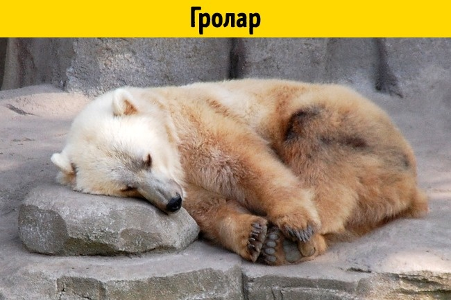 © depositphotos  © flickr  Этот милаш зовется гроларом (отанглийских «grizzly» и«polar