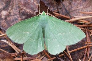 Пяденица зеленая большая (Geometra papilionaria)
