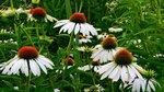 цветы ромашки.jpg