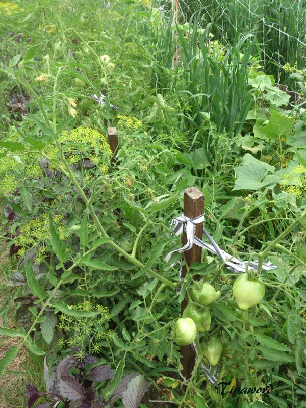 помидоры-1.jpg