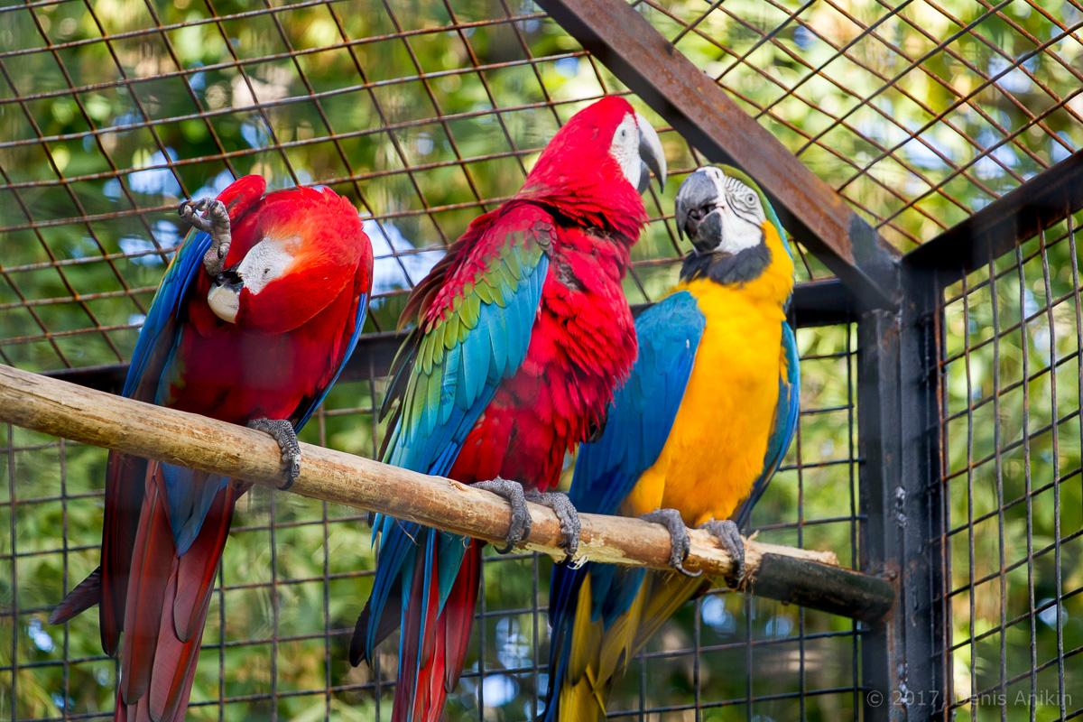 попугай ара фото 2