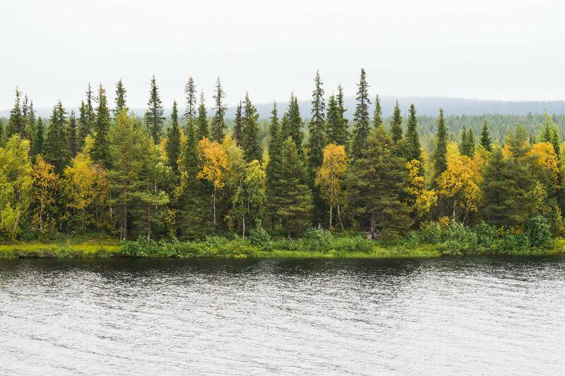 осенний пейзаж с елями свечками в лапландии