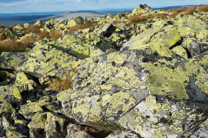 желтый лишайник на камнях на севере в финляндии
