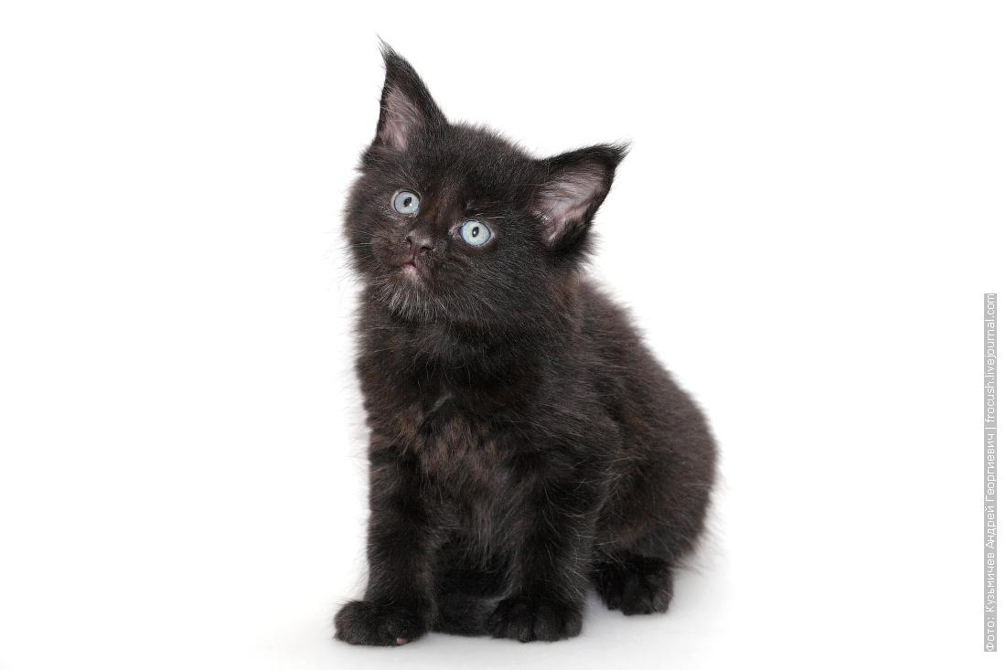 черный котенок мейн кун