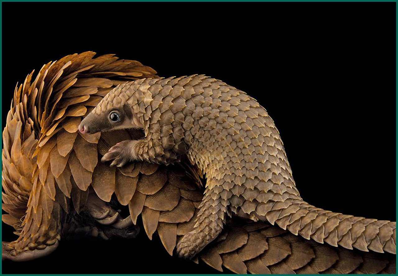 This African tree pangolin breeding travels over its mother in a special center for conservation in St. Augustine, Florida