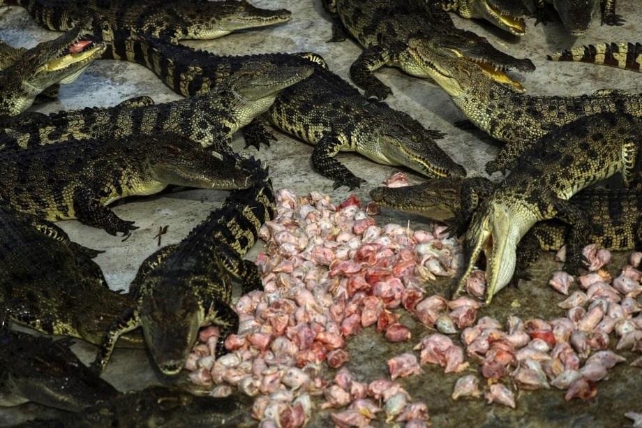 Тайские фермы по выращиванию крокодилов