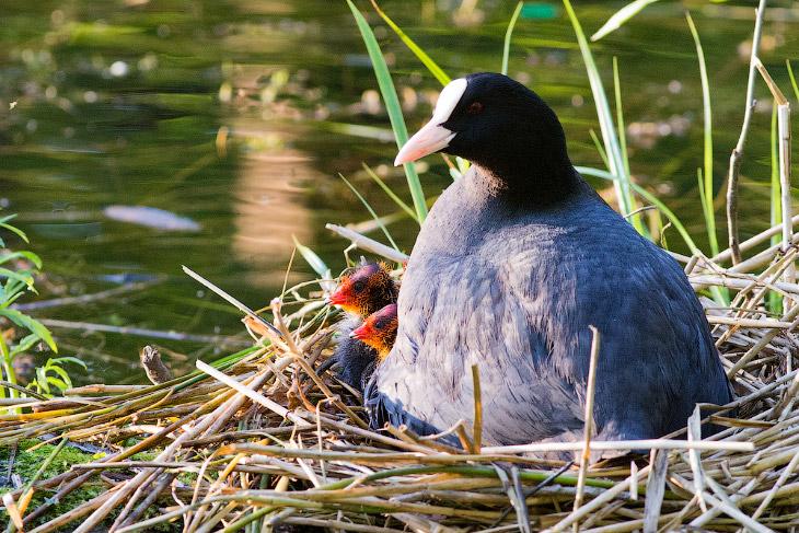 2. Кстати, я к своему стыду никогда не обращал внимание, что птенцы лысухи рождаются с огненно-красн