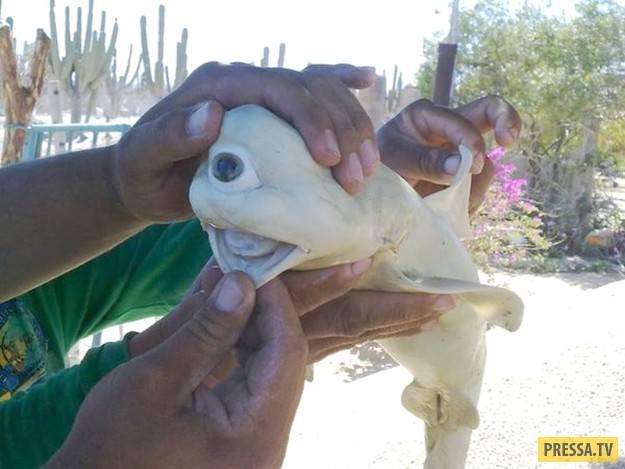 Эту одноглазую акулу-альбиноса вытащили из беременной шестижаберной акулы у Калифорнийского залива.