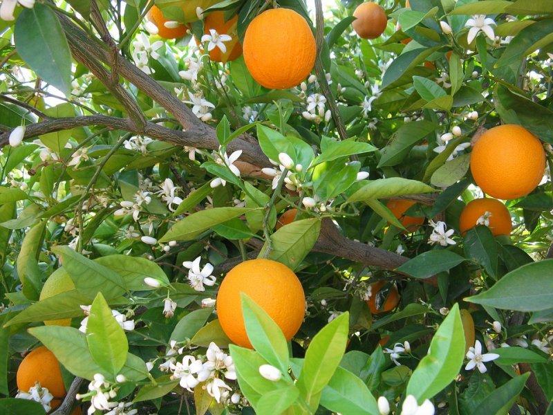 Ученые рассказали, как апельсин способен спасти человека оттравматического стресса