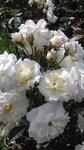 ..ах,эти белые цветы...