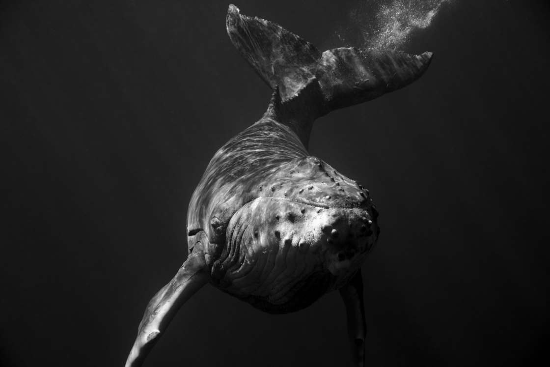 Giants - Photographer captures fascinating portraits of humpback whales
