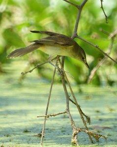 Восточная дроздовидная камышевка - Oriental Reed Warbler