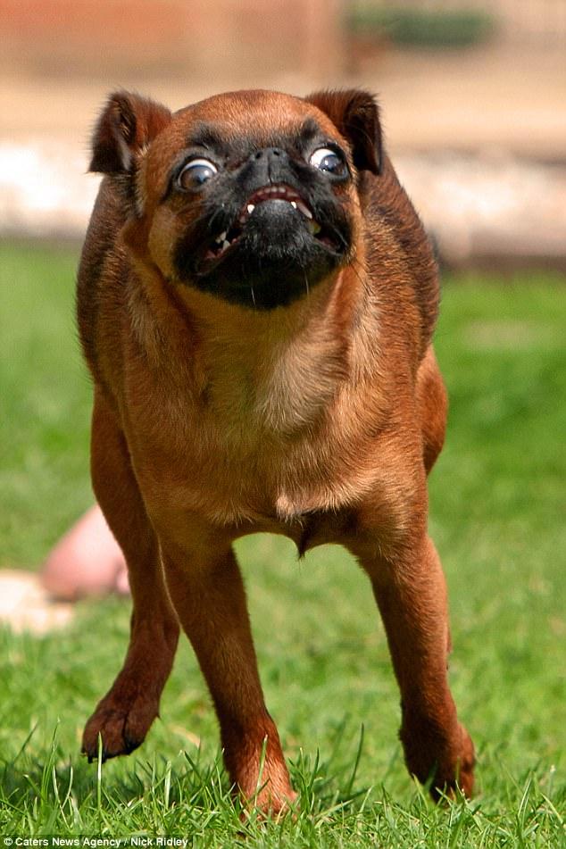 Собака бельгийской породы пти-брабансон.