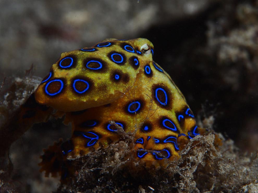 Это самые ядовитые создания во всех океанах мира, атака которых приводит к параличу и смерти.