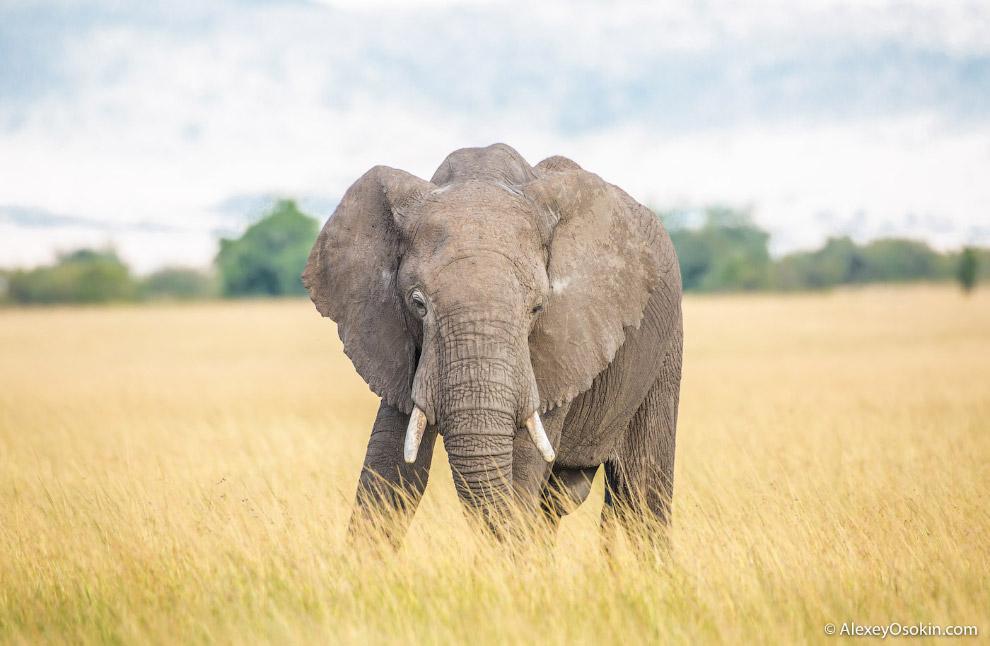 Мозг у гиганта большой и тяжелый — до 7 кг . Кстати, слоны обладают прекрасной памятью. Особенн