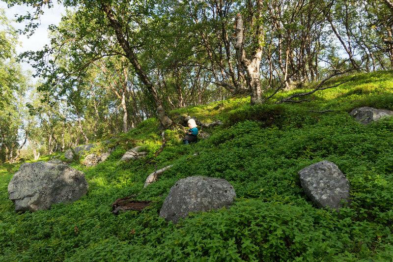 березовый лес в норвегии на 70 градусах северной широты