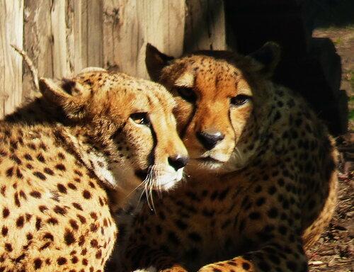на прицеле всеобщего взора два гепарда, обнявшись, лежат.....